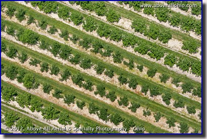 A low and close up aerial look at an orchard near Lorain, Ohio.